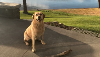 Yellow Lab fetching sticks at Flathead Lake